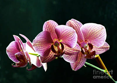 Photograph - Happy Orchids by Renee Trenholm