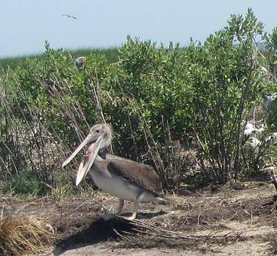Obx Photograph - Happy Pelican Of Portsmouth Island  by Cathy Lindsey