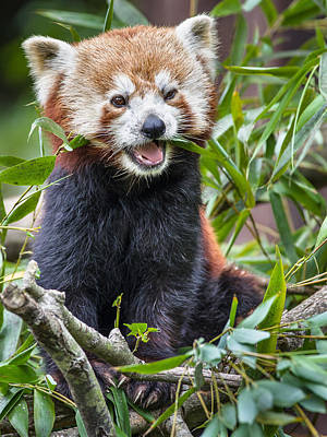 Photograph - Happy Red Panda by Greg Nyquist