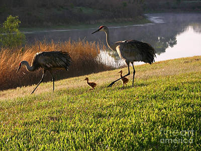 Photograph - Happy Sandhill Crane Family - Original by Carol Groenen