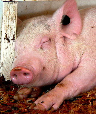 Photograph - Happy Sleeping Pig by Jeff Lowe