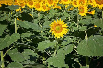 Photograph - Happy Sunflower by Deb Buchanan