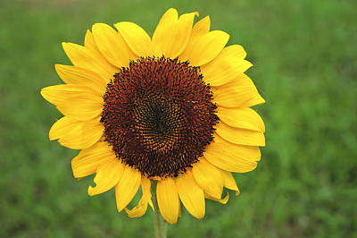 Happy Sunflower Art Print by Terry DeLuco