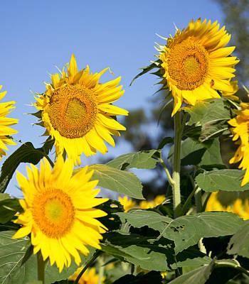 Photograph - Happy Sunflowers by Deb Buchanan
