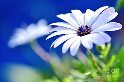 Happy White Daisy 2- Blue Bokeh  Print by Kaye Menner