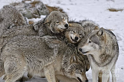 Animals Royalty-Free and Rights-Managed Images - Happy Wolf Pack by Wolves Only