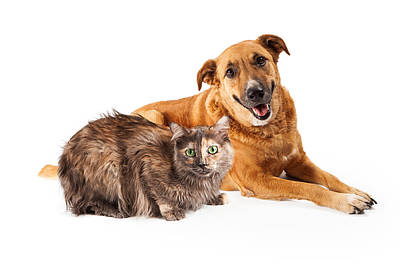 Golden Retrievers Photograph - Happy Yellow Dog And Persian Cat by Susan Schmitz