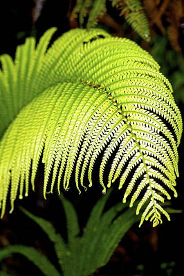 Art Print featuring the photograph Hapu'u Fern Frond by Lehua Pekelo-Stearns