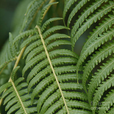 Hapuu Pulu Hawaiian Tree Fern Art Print by Sharon Mau