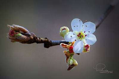 Photograph - Harbinger Of Spring by Ludwig Keck