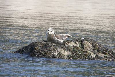 Photograph - Harbor Seal - 0002 by S and S Photo
