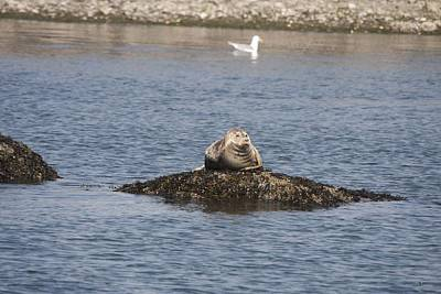 Photograph - Harbor Seal - 0004 by S and S Photo