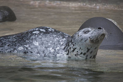 Photograph - Harbor Seal - 0021 by S and S Photo