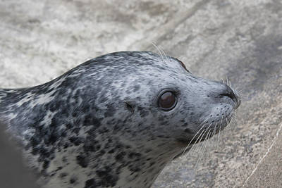 Photograph - Harbor Seal - 0022 by S and S Photo