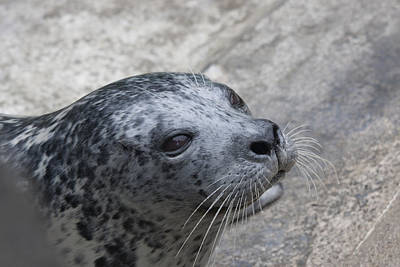 Photograph - Harbor Seal - 0023 by S and S Photo