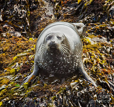 Harbor Seal Art Print