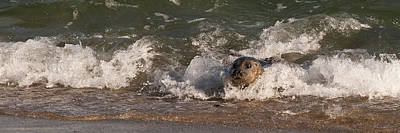 Photograph - Harbor Seal Body Surfing by Lee Kirchhevel