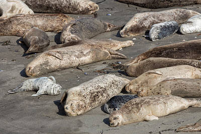 Photograph - Harbor Seal Colony On The Beach by Kathleen Bishop