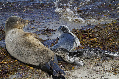 Photograph - Harbor Seal Nursing by George Oze