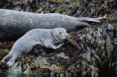 Phoca Vitulina Photograph - Harbor Seal Pup Resting by Suzi Eszterhas