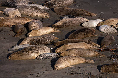 Phoca Vitulina Photograph - Harbor Seal Rookery On The Sonoma Coast by Kathleen Bishop