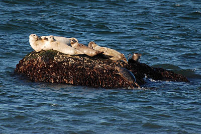 Photograph - Harbor Seals Hauled Out by Bradford Martin