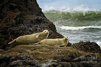 Photograph - Harbor Seals In Oregon by Carrie Cranwill