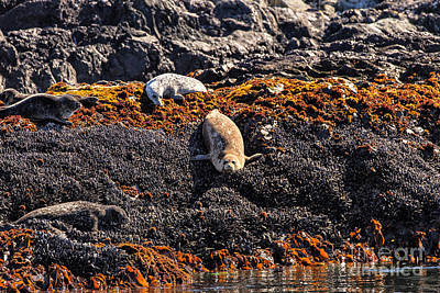 Photograph - Harbor Seals by Stuart Gordon