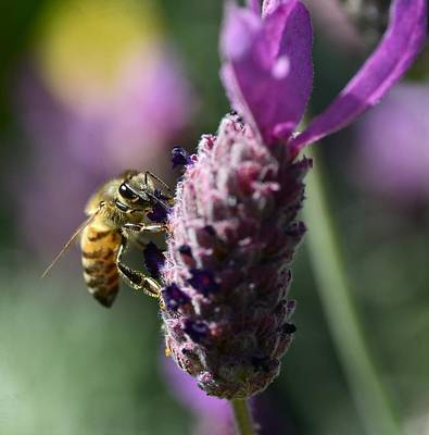 Bee On Flower Photograph - Hard Days Work 3 by Fraida Gutovich