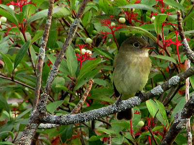 Art Print featuring the photograph Hardly The Least Least Flycatcher by Kimberly Mackowski