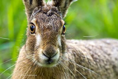 European Hare Wall Art - Photograph - Hare Portrait by Torbjorn Swenelius