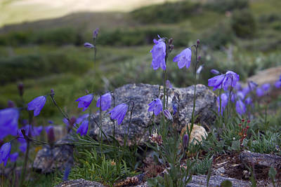 Bellflower Photograph - Harebell Bellflower by Ellen Heaverlo
