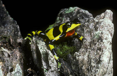 Varius Photograph - Harlequin Frog by Gregory G. Dimijian, M.D.