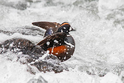 Photograph - Harlequin In The Rapids by Jill Bell