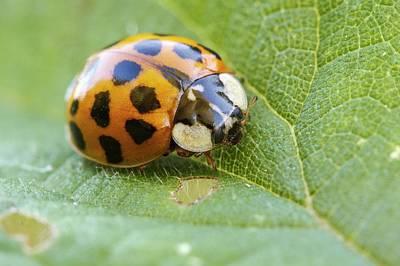 Ladybug Photograph - Harlequin Ladybird by Heath Mcdonald