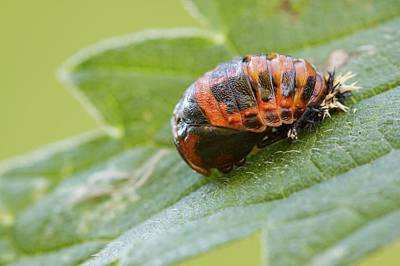 Ladybug Photograph - Harlequin Ladybird Pupa by Heath Mcdonald