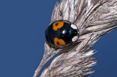 Harlequin Ladybird Art Print by Science Photo Library