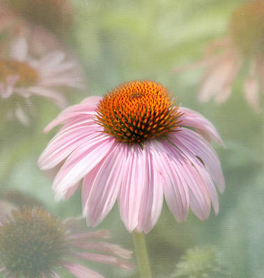Cone Flower Photograph - Harmony  by Kim Hojnacki