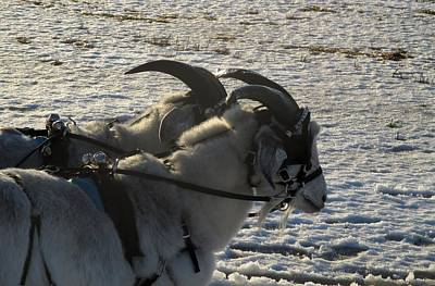 Photograph - Harness Goats In Snow by Ishana Ingerman