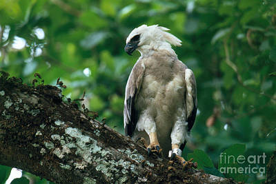 Harpy Eagle Photograph - Harpy Eagle by Art Wolfe