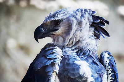 Harpy Eagle Photograph - Harpy Eagle Harpia Harpyja by Leonardo Mer�on