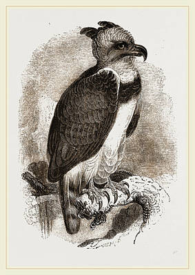 Harpy Eagle Drawing - Harpy Eagle by Litz Collection