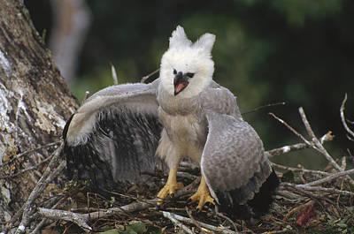 Harpy Eagle Photograph - Harpy Eagle Threat Posture Amazonian by Tui De Roy