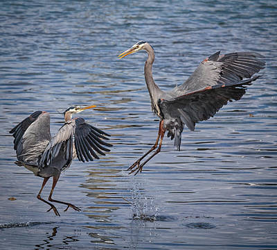 Photograph - Harrier Herons by Wes and Dotty Weber