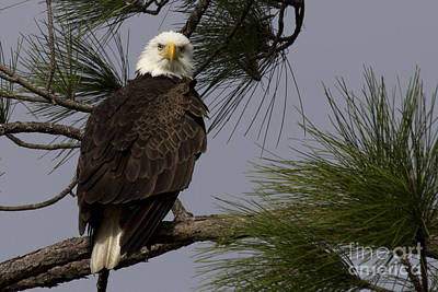Photograph - Harriet The Bald Eagle by Meg Rousher