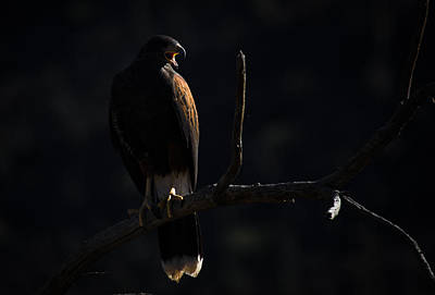 Photograph - Harris Hawk Call by Swift Family