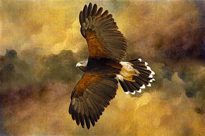 Photograph - Harris Hawk In Flight by Barbara Manis
