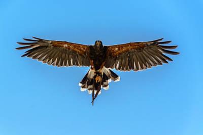 Harris Hawk Photograph - Harris Hawk In Flight by Randy Scherkenbach