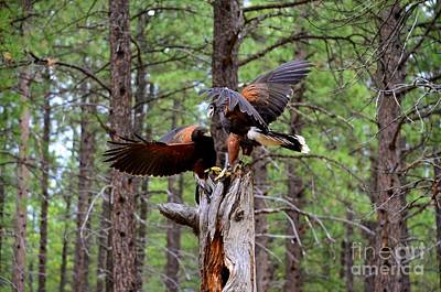 Photograph - Harris Hawk by Johanne Peale