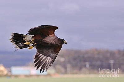 Photograph - Harris Hawk by Kate Purdy